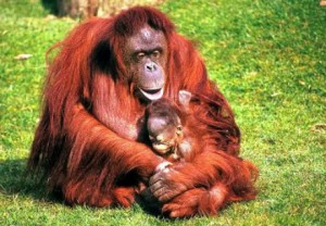Orangután Sumatra
