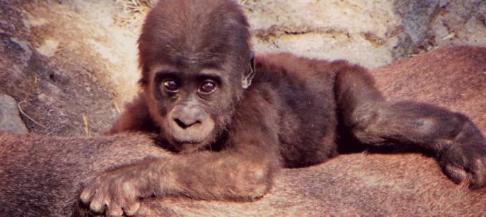cria gorila