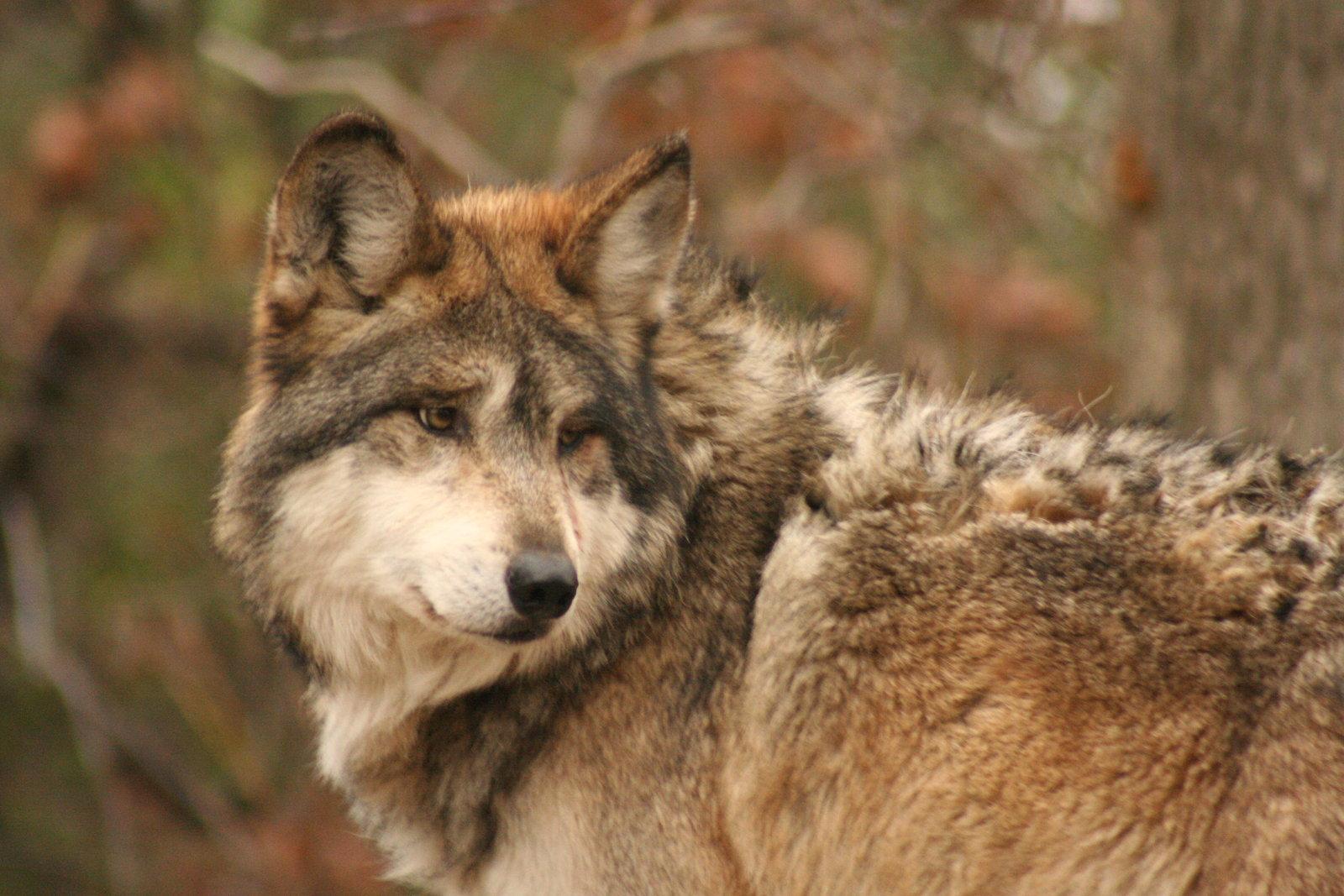 Lobos En Peligro De Extinción Medioambientum Crónicas De La Naturaleza